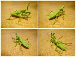 Praying mantis v2.8 【CP】- Kota Imai 今井幸太